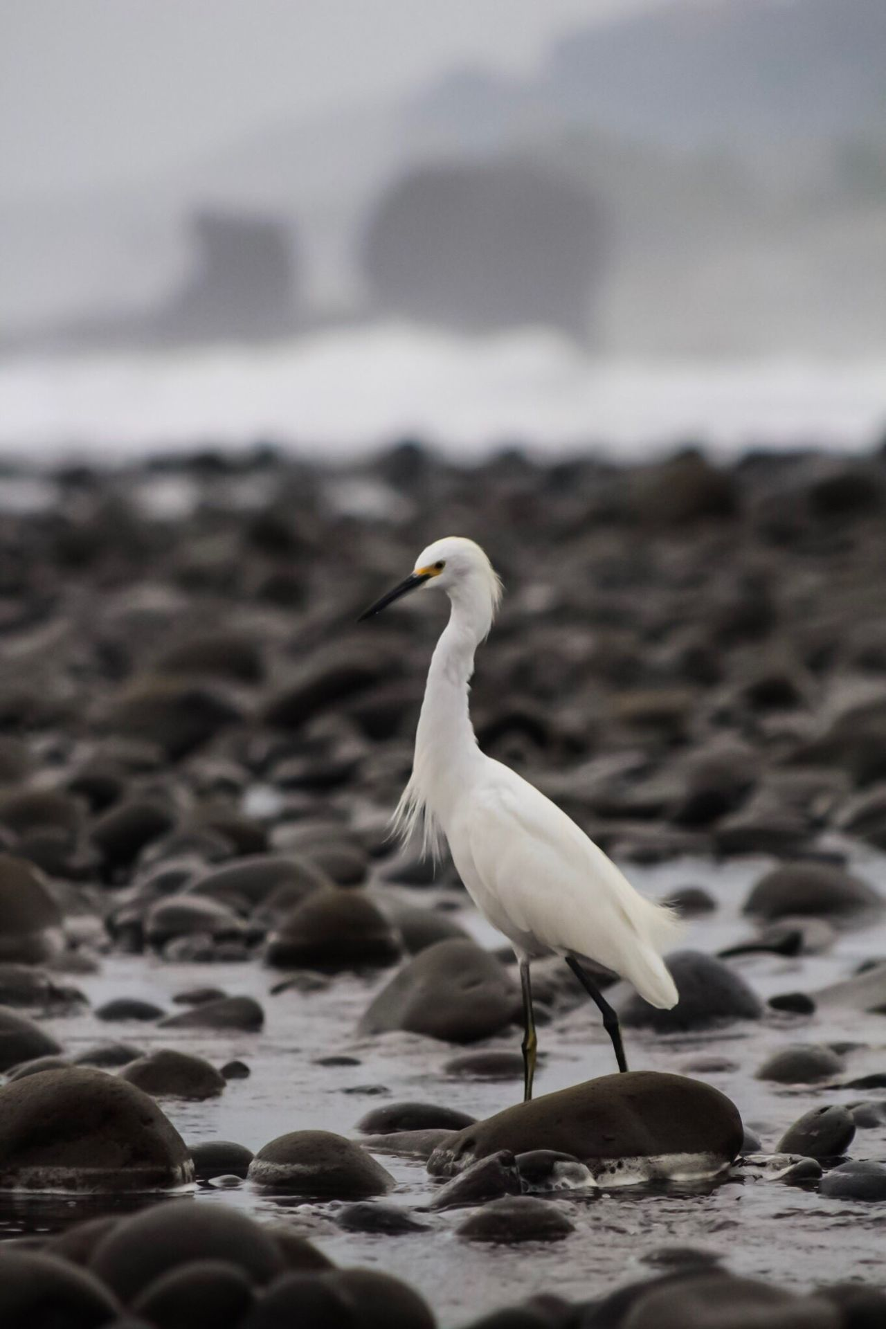 Bird Animal Themes Animals In The Wild Beach Focus On Foreground Water El Salvador El Salvador Impresionante Sunrise Nature Sand One Animal Sea Day No People Seagull Outdoors Perching Great Egret Beauty In Nature Crane - Bird Close-up