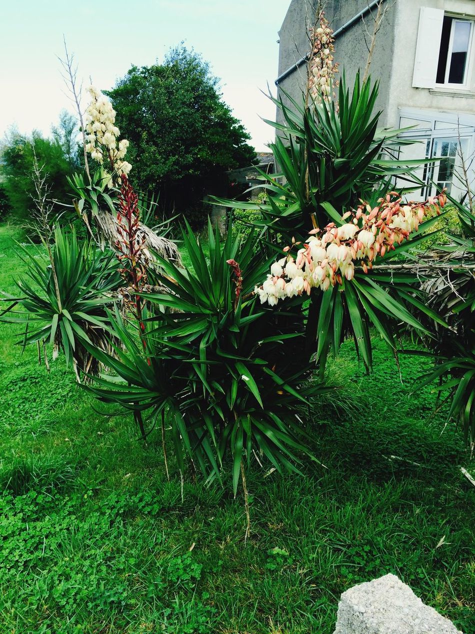 Yucca filamentosa Yucca Plants Traveling France Model Plant Flowering Bretagne Beautiful