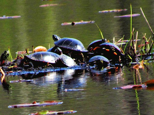 Taking Photos Enjoying Life Check This Out EyeEm Best Shots EyeEm Best Edits The Great Outdoors - 2015 EyeEm Awards A Walk In The Woods Wildlife I Got Turtles Turtles Lagoon Nature Diversities
