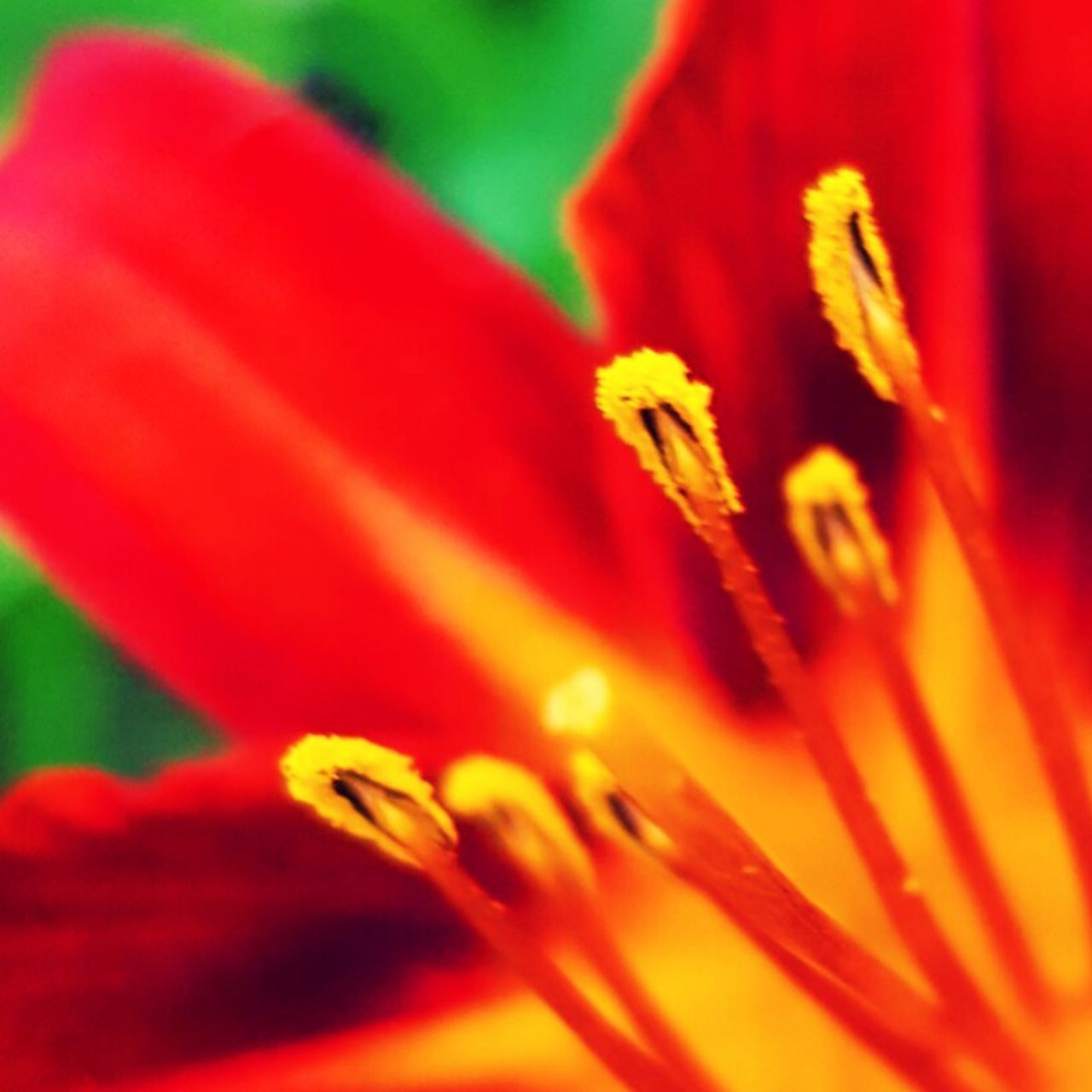 flower, growth, petal, fragility, flower head, beauty in nature, nature, freshness, plant, selective focus, vibrant color, close-up, stamen, red, no people, soft focus, blooming, yellow, outdoors, day, day lily