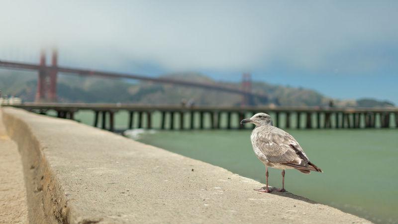 Animal Themes Bird California Day Foggy No People One Animal Outdoors Perching San Francisco San Francisco Bay Bridge USA West Coast