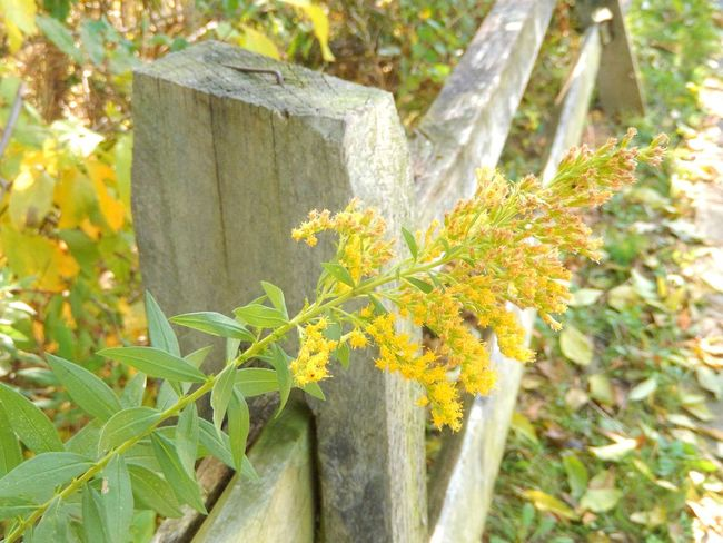 Goldenrod Wooden Fence Plant Yellow No People Outdoors Close-up EyeEm Best Shots - Landscape Green Color EyeEm EyeEm Gallery Eyeem Market Eyeem Photography Eyeem Collection Capturing Motion Pennsylvania