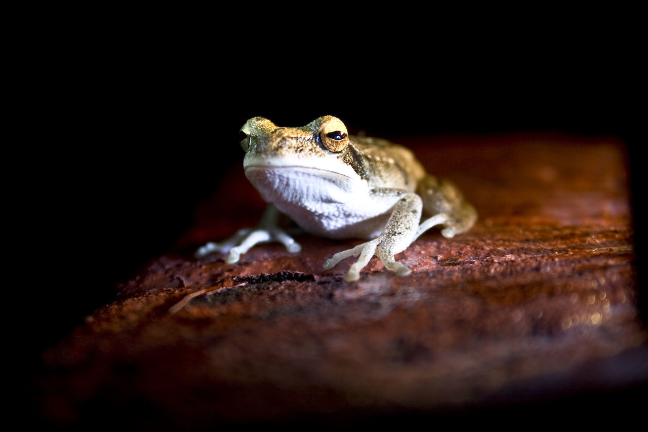 Animal Photography Animal Themes Animal Wildlife Animals In The Wild Animals In The Wild Beaty Nature In Evening Close-up Day Frog Frog Nature Nature Night Nightphotography No People One Animal One Shot Outdoors Reptile Torchlight