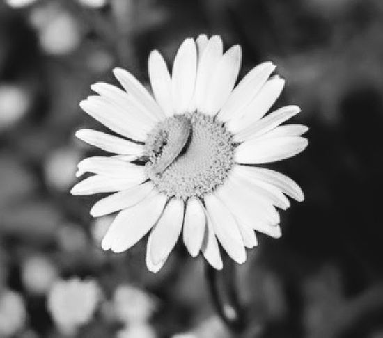 Broken flower pedal Flower Flower Head Petal Nature Beauty In Nature Pollen Freshness Close-up Outdoors No People Summer Macro Photography Black&white Photography Black&white♥ Blossom Macro Beauty Shadows & Lights Selective Focus Black Color