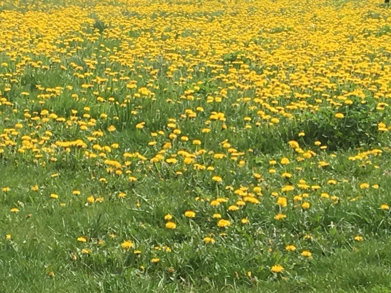 Yellow Flower Flower Field
