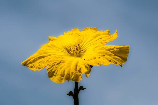Yellow Fragility Flower Sunflower Close-up Pollen Nature No People Flower Head Outdoors Freshness Day