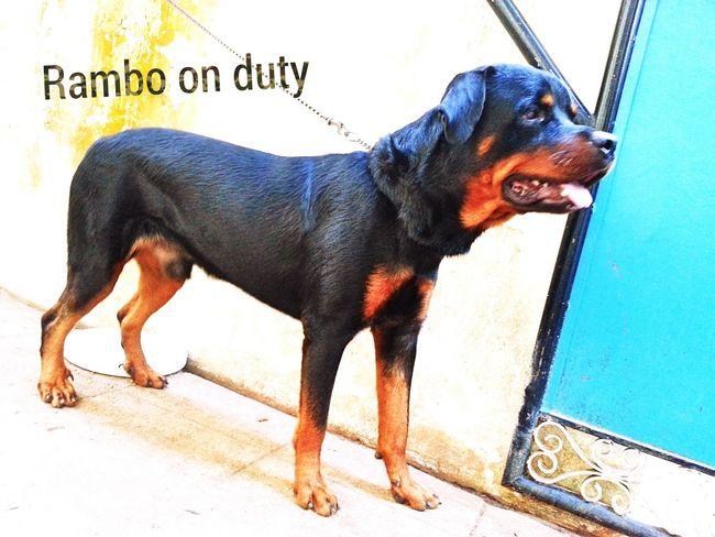 Hello World Rottweiler With Rambo