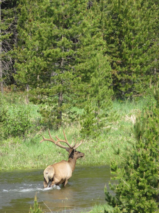 Day One at Rocky Mountain National Park - Big bull elk crossing river in the valley - a good start to this camping trip. Animal Themes Animals In The Wild Bull Elk Colorado Coloradophotographer Elk Estes Park, CO Ełk Nature Rocky Mountain National Park Rocky Mountains