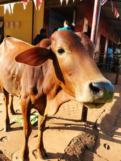 Индийская корова First Eyeem Photo Индия ИндийскиеМотивы