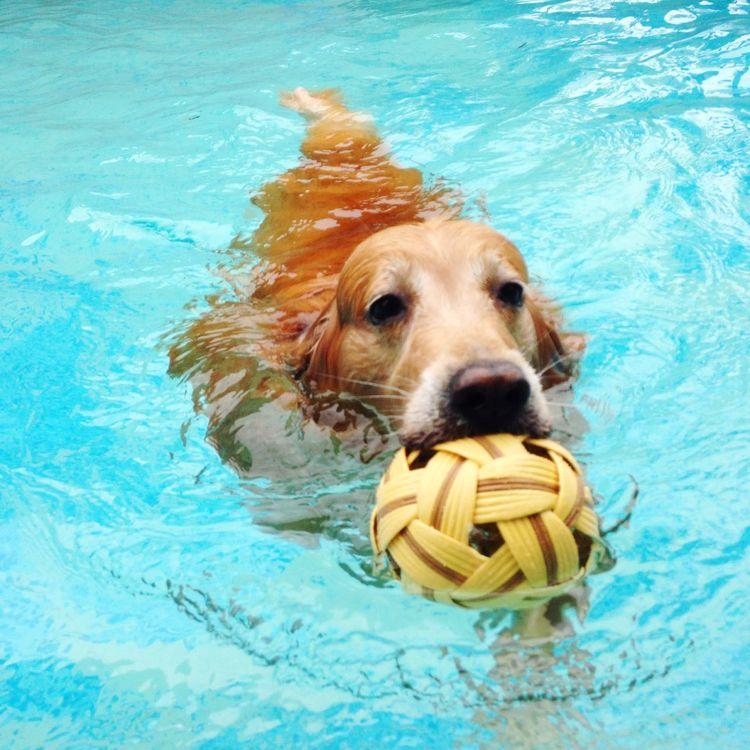 Summer Dogs Goldenretriever Dog Swimming