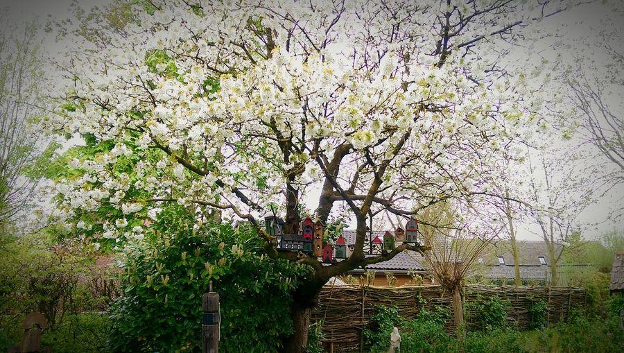 Cherrytree Cherry Blossoms Birdhouses