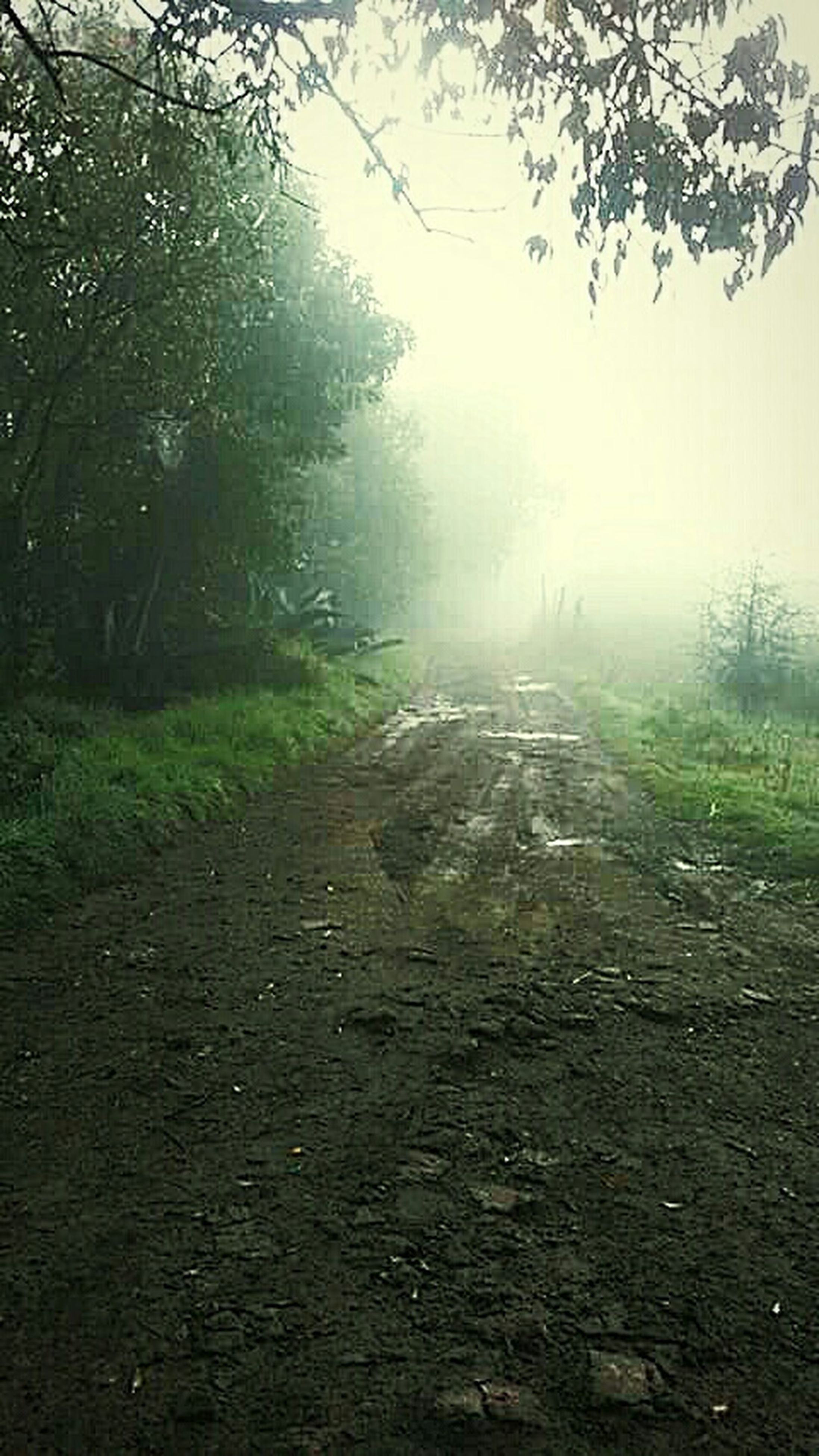 tree, fog, tranquility, the way forward, nature, forest, tranquil scene, foggy, dirt road, beauty in nature, weather, branch, scenics, day, landscape, road, growth, non-urban scene, no people