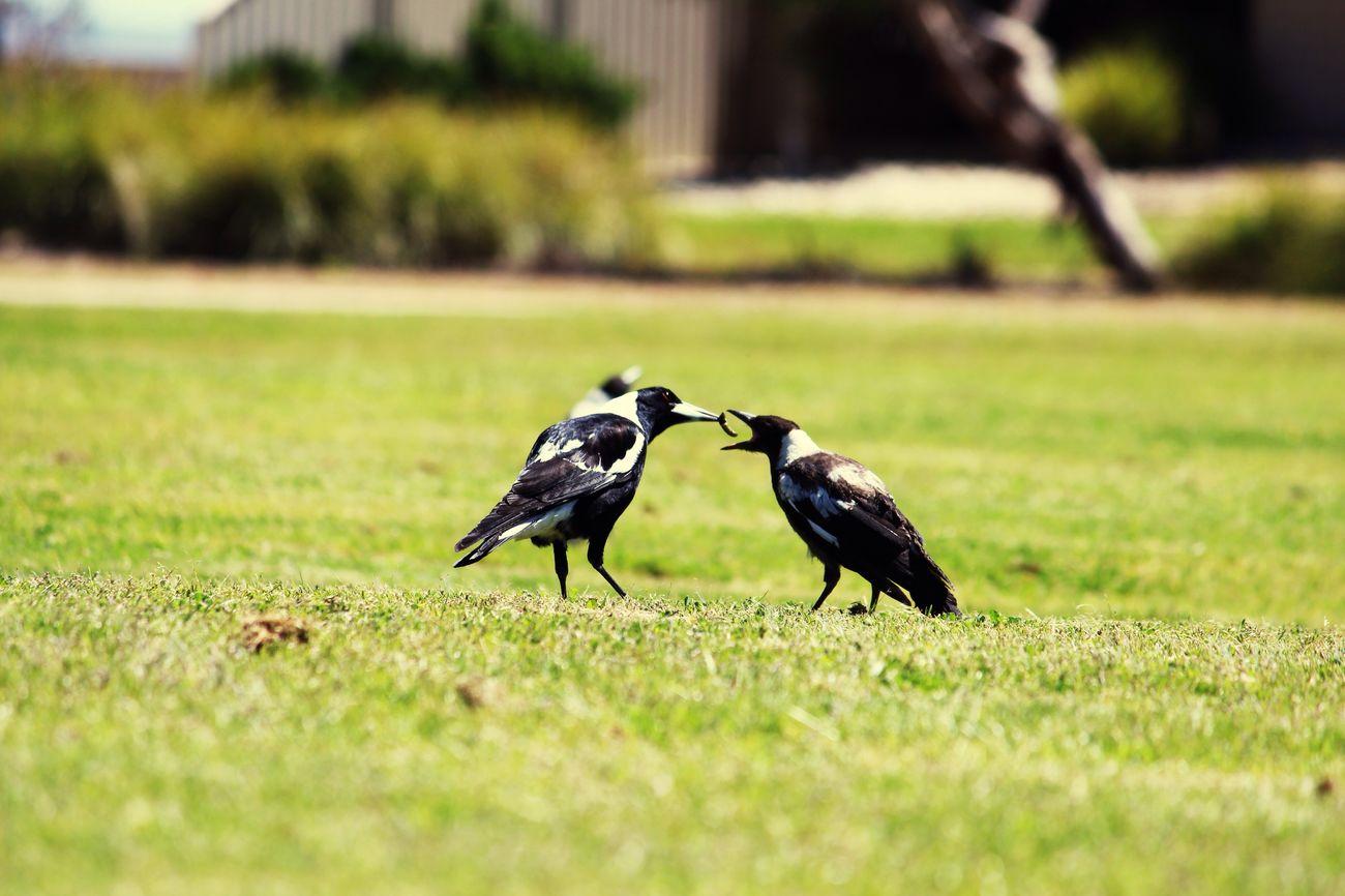 Magpie season First Eyeem Photo