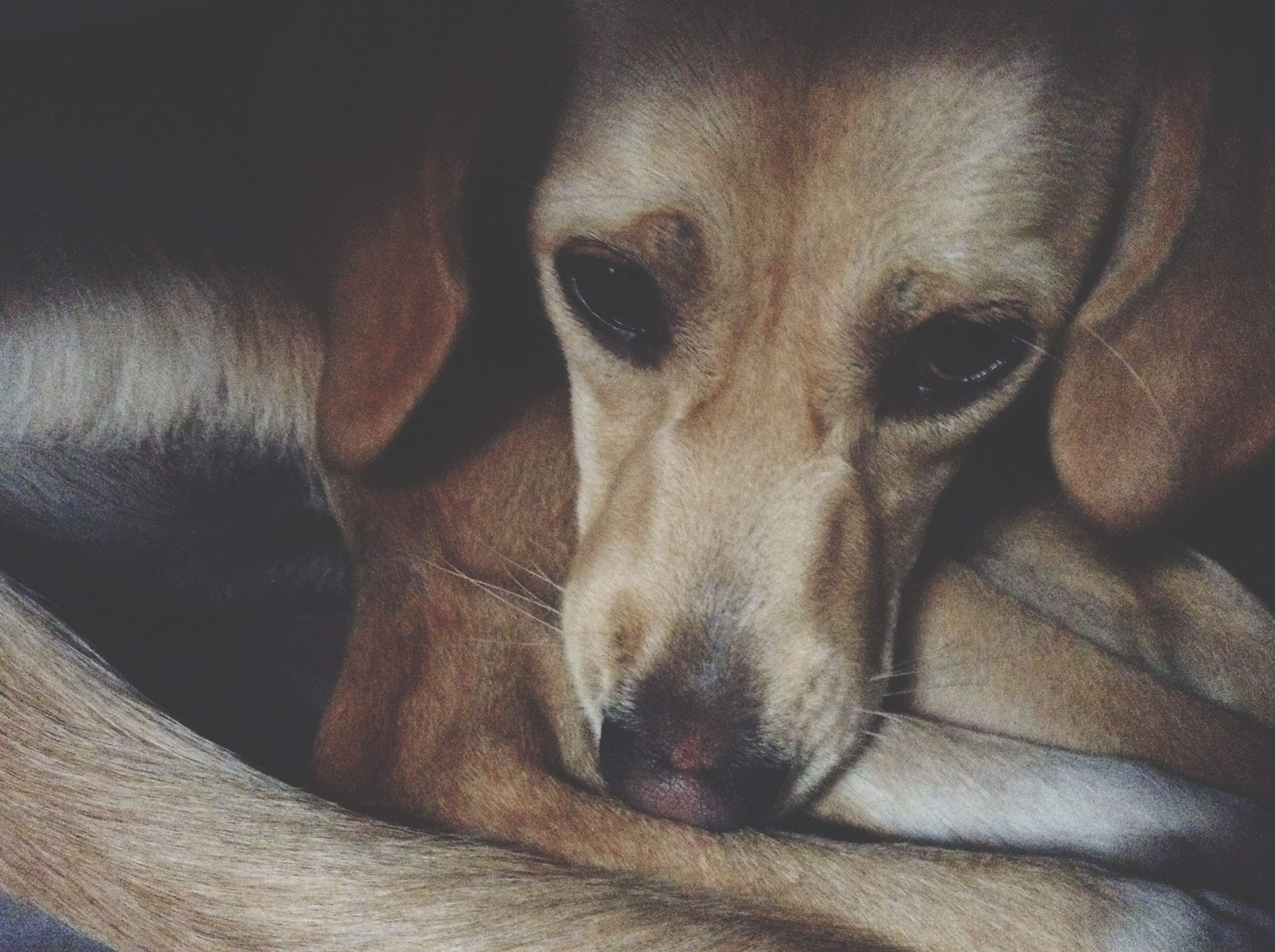 one animal, animal themes, domestic animals, dog, pets, mammal, indoors, animal head, close-up, animal body part, relaxation, portrait, looking at camera, resting, lying down, bed, part of, home interior, no people
