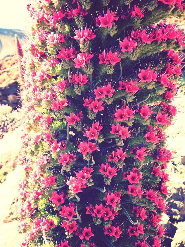 Flor del Tajinaste Tajinastes Flowers Nature_collection Nature