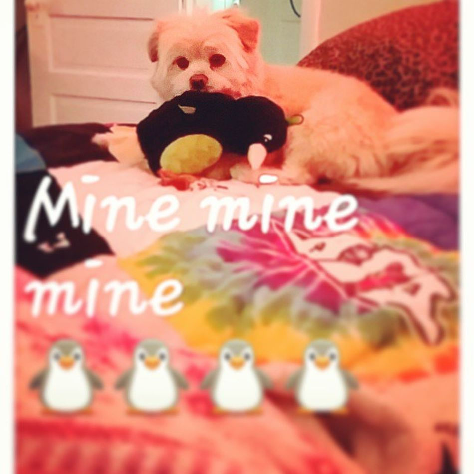 It's cold outside today.. let's stay inside and play. . 🐶🐧⛄ Londonharvey Winter Fridaymornings Dogs dogsareawesome londontime playtime myheart mystory LaPom pomeranian penguins pingu pinguin mine mineminemine