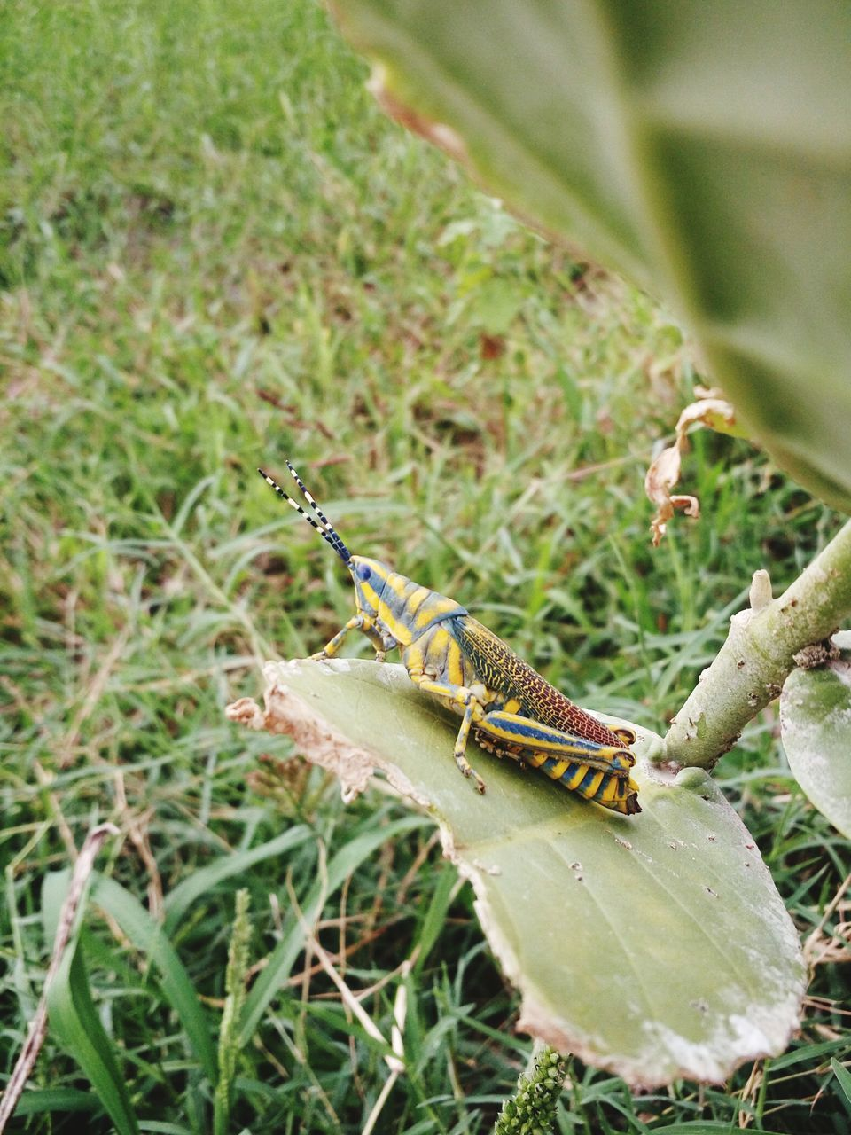 one animal, animals in the wild, animal themes, insect, green color, animal wildlife, day, no people, close-up, nature, outdoors, grasshopper, plant, grass