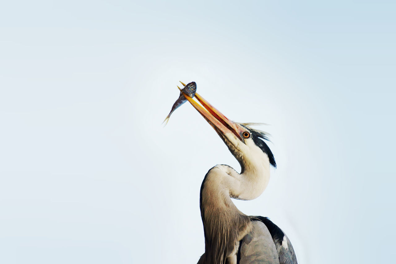 Gray heron feeding on fish Animal Animal Themes Animals In The Wild Beauty In Nature Bird Bird Photography Blue Sky Catch Feeding  Fish Fish Market Gray Heron Grey Heron  Heron Hungry Hunter Hunting Istanbul Low Angle View Neutral Background Predator Prey Sky Turkey Wild Animal