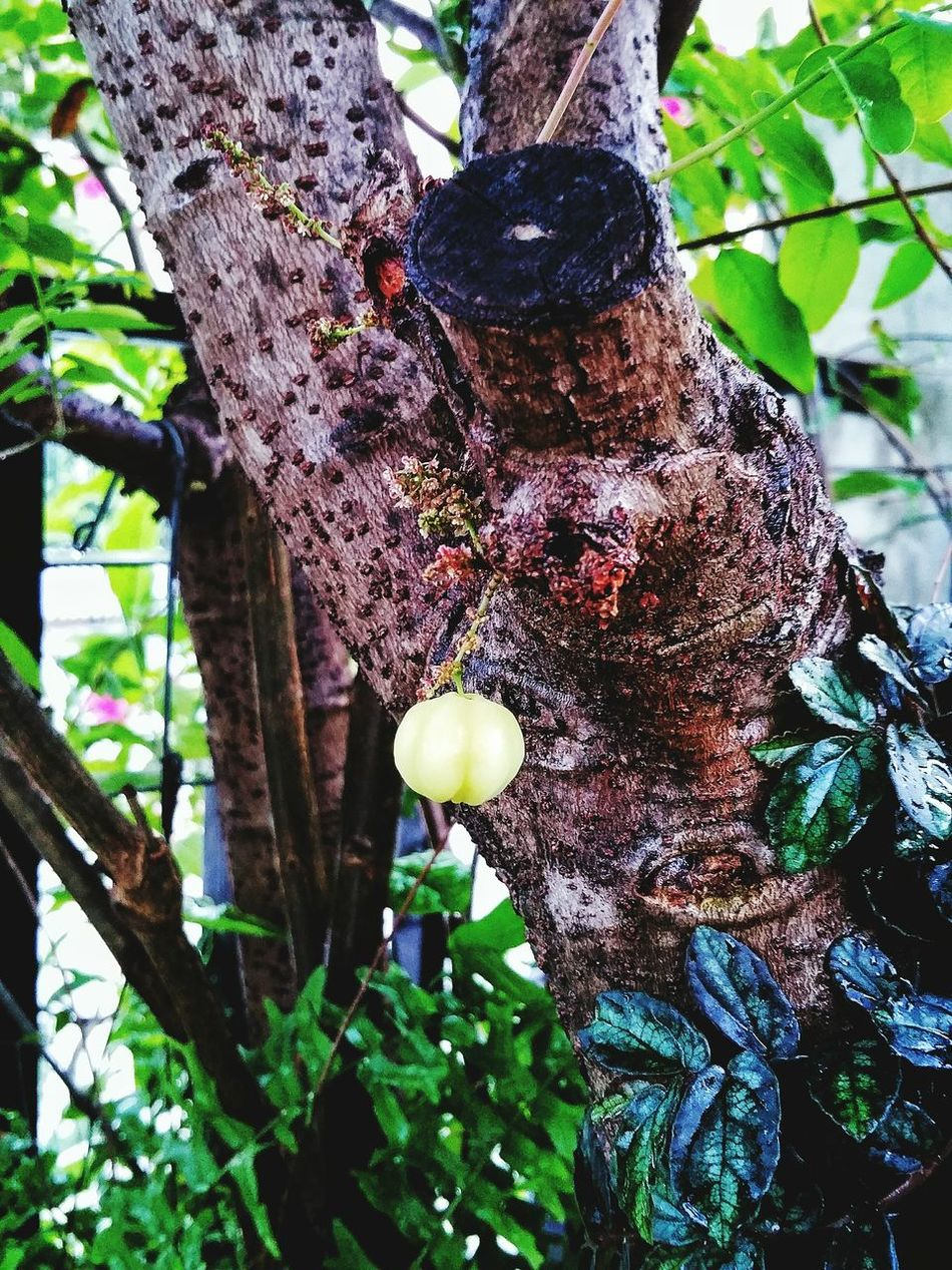Outdoors Freshness Fruit Nature Tree Beauty In Nature Green Color Leaf Star Gooseberry Brances Stick