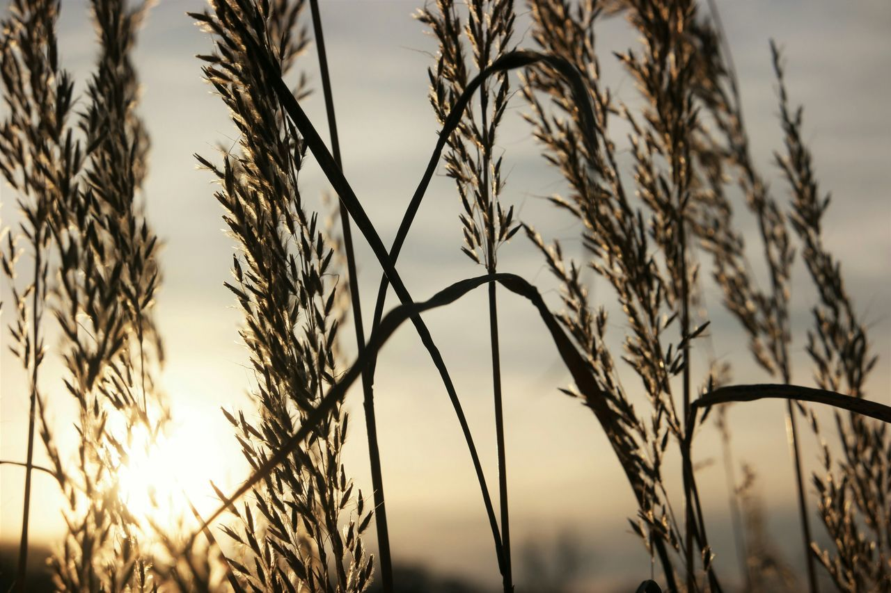 Selective Focus Natural Pattern Dry Detail No People Brown Close-up Plant Sunset Silhouettes Showcase: November Nature_collection Backlight Grasses