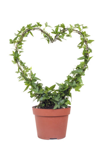 Ivy plant with shape of a heart in white isolated background Ivy Leaves Love Love Nature Nature Close-up Conceptual Decorative Green Color Growth Heart Shape Isolated White Background Ivy Ivy Covered Leaf Nature No People Plant Potted Plant Studio Shot White Background White Color White Isolated