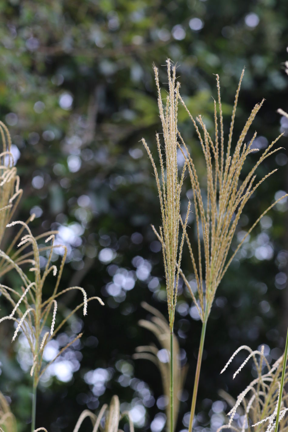 Botany Depth Of Field Japanese Silver Grass Nature Plant Selective Focus Silvergrass