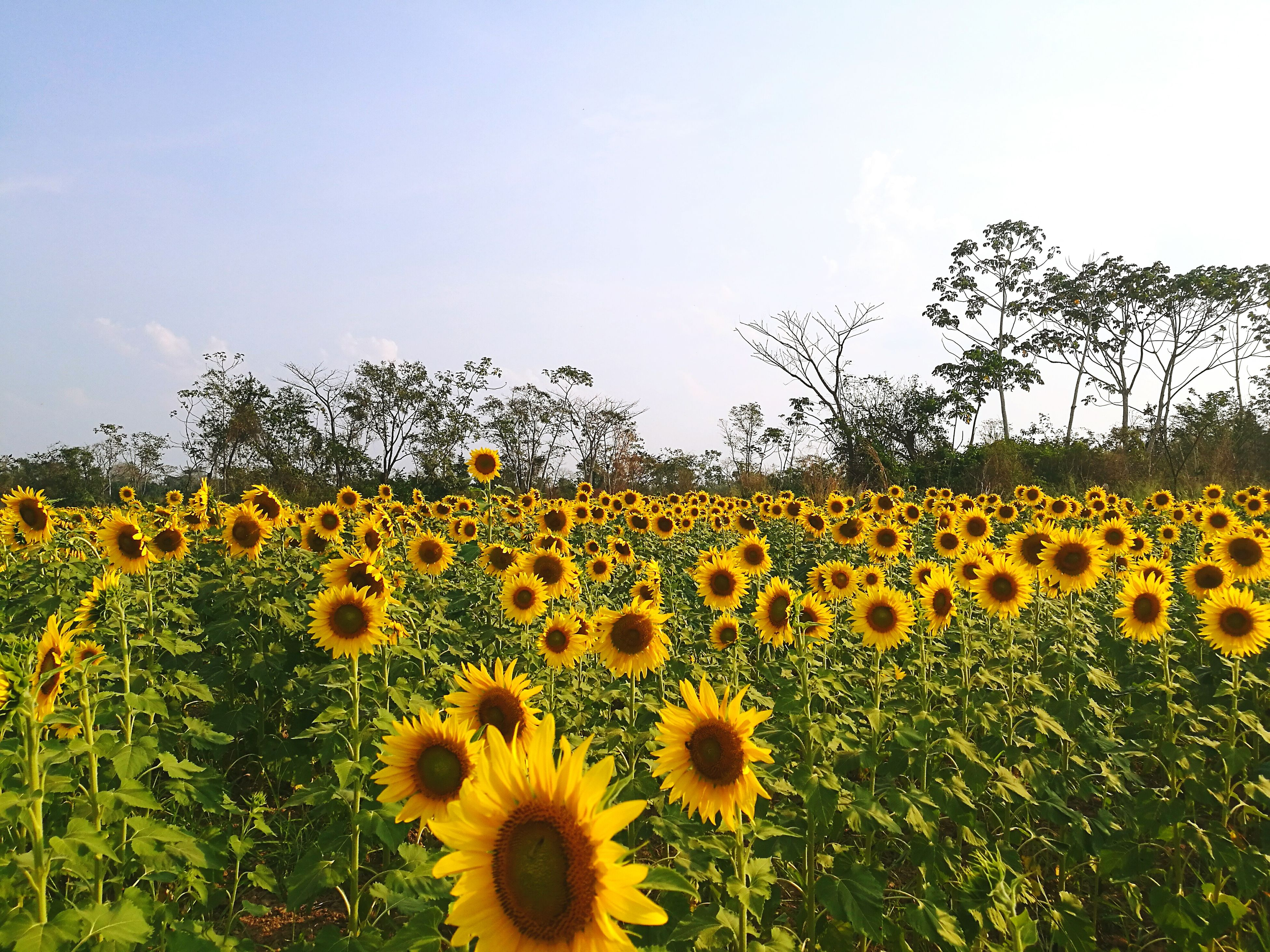 flower, growth, yellow, plant, beauty in nature, nature, field, fragility, botany, sunflower, day, flower head, freshness, outdoors, petal, no people, blooming, sky, flowerbed, black-eyed susan, rural scene, tree, close-up