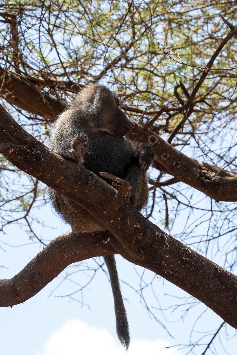 Animals In The Wild FUJIFILM X-T1 EyeEmNewHere Tansania Tanzania Lake Manyara Africa Affen Affe Olive Baboon Baboon Paviane Anubispavian Animal Wildlife