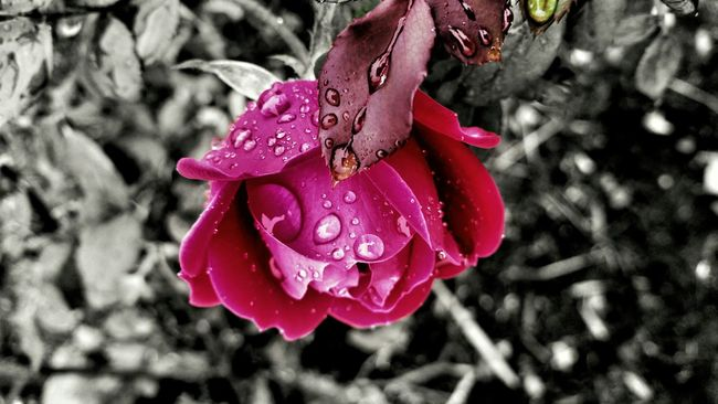 B&W With A Splash Of Color Enjoying Nature EyeEm Best Shots - Nature Red Flower Rain Drops On Roses Taking Pictures In The Rain Contrast Showcase: November