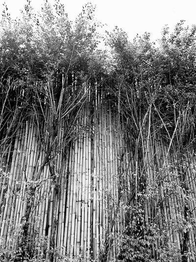 Wall Bamboo Wall Nature Wall Tree Wall Wall And Nature Wall And Tree Wall Photography Black And White Black And White Photography