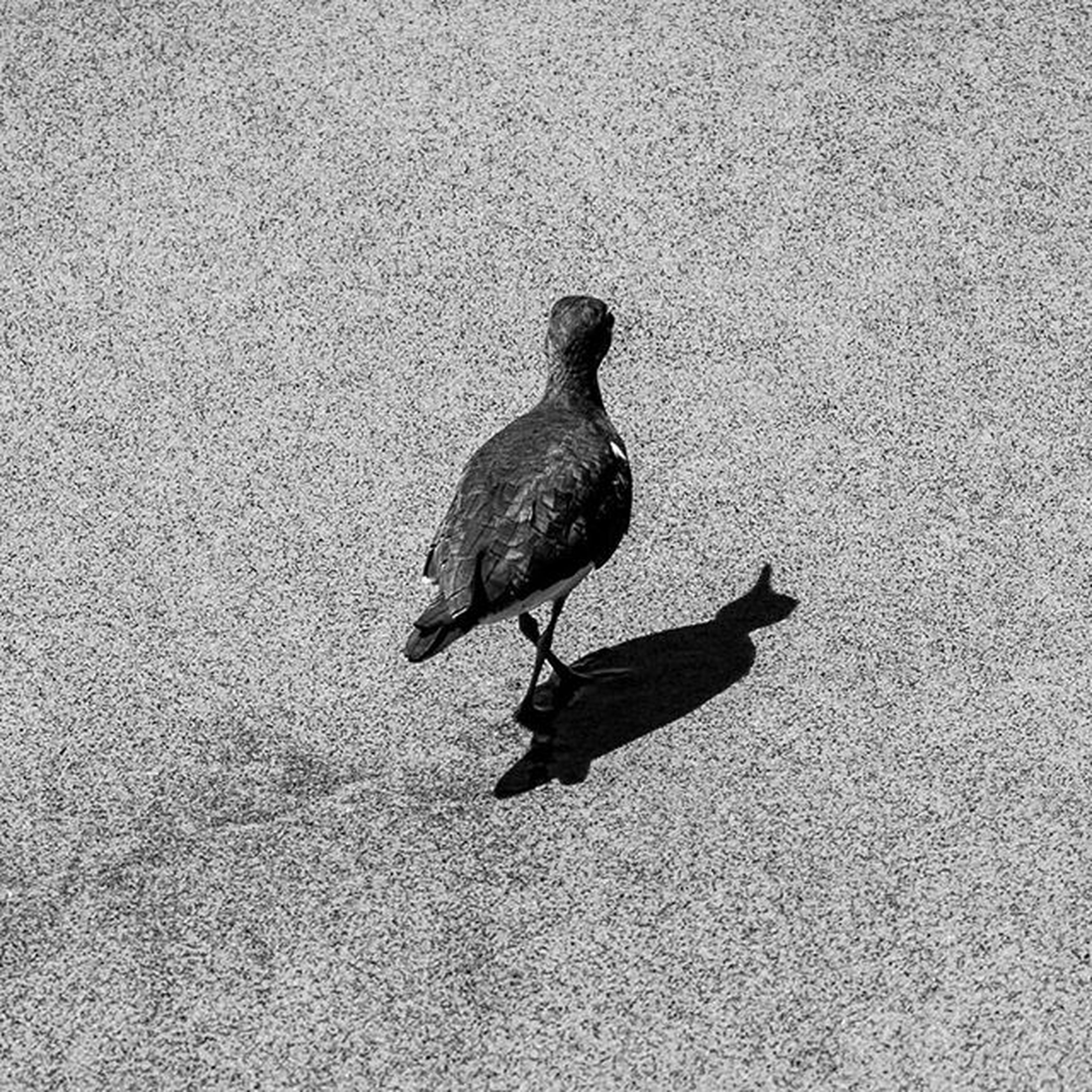 animal themes, one animal, bird, animals in the wild, wildlife, high angle view, full length, street, side view, outdoors, day, pigeon, shadow, no people, sunlight, nature, perching, walking, road, asphalt