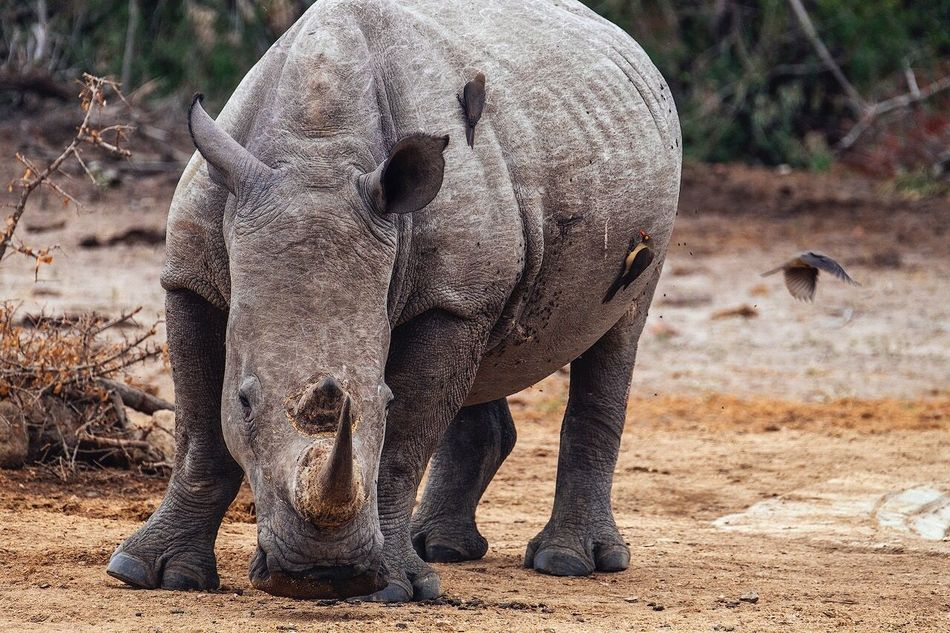 White rhino with oxpeckers Animals In The Wild Animal Wildlife Elephant Animal No People Safari Animals Animal Themes Mammal Nature African Elephant Outdoors Young Animal Full Length Day Tusk Animal Trunk Elephant Calf Close-up