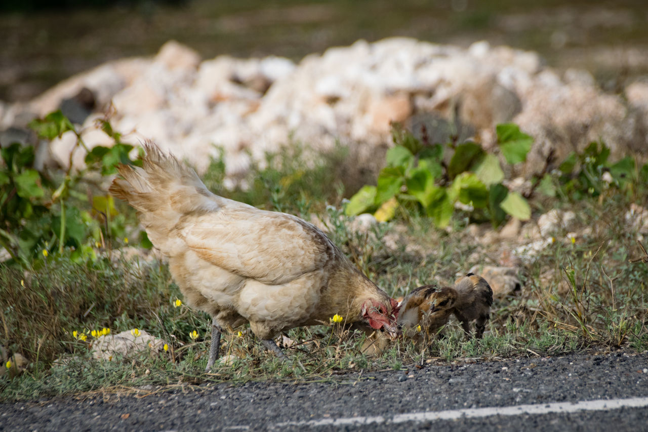 chicken - bird, animal themes, domestic animals, livestock, bird, young bird, no people, outdoors, young animal, day, agriculture, grass, togetherness, nature, mammal, close-up