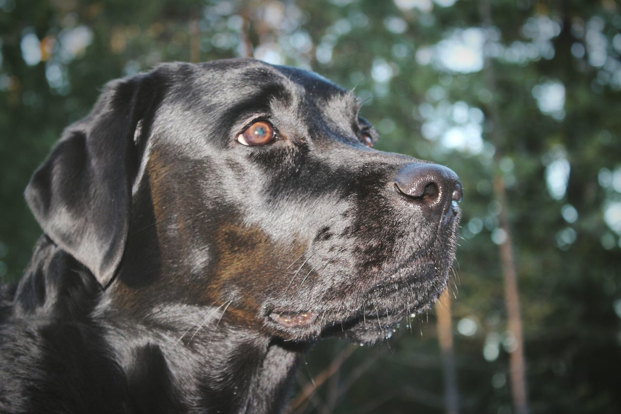 개 강아지 Hund One Animal Domestic Animals Blacklab Labrador Retriever Black Labrador Labrador Outdoors Day Animal Head  Close-up Animal Pets Dogs Dog Portrait Animal Head  No People Forest Skog Vovve