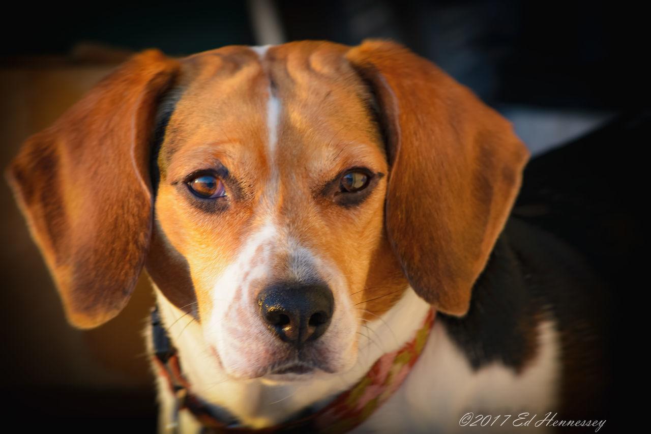 Beagle Eyes - Animal Themes Beagle Beagle Eyes Beagle Love Beagles  Close-up Day Dog Domestic Animals Focus On Foreground Looking At Camera One Animal Pets Portrait Beaglelovers Beagleoftheday Beaglelove