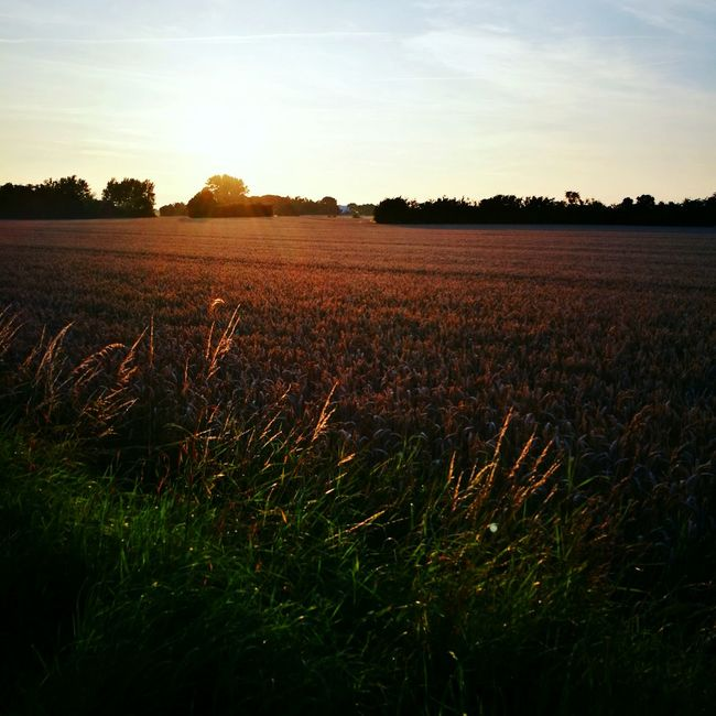 Field Landscape Growth Nature Crop  Sky Farm Plantation No People Beauty In Nature Danmark Farmland Lens Flare