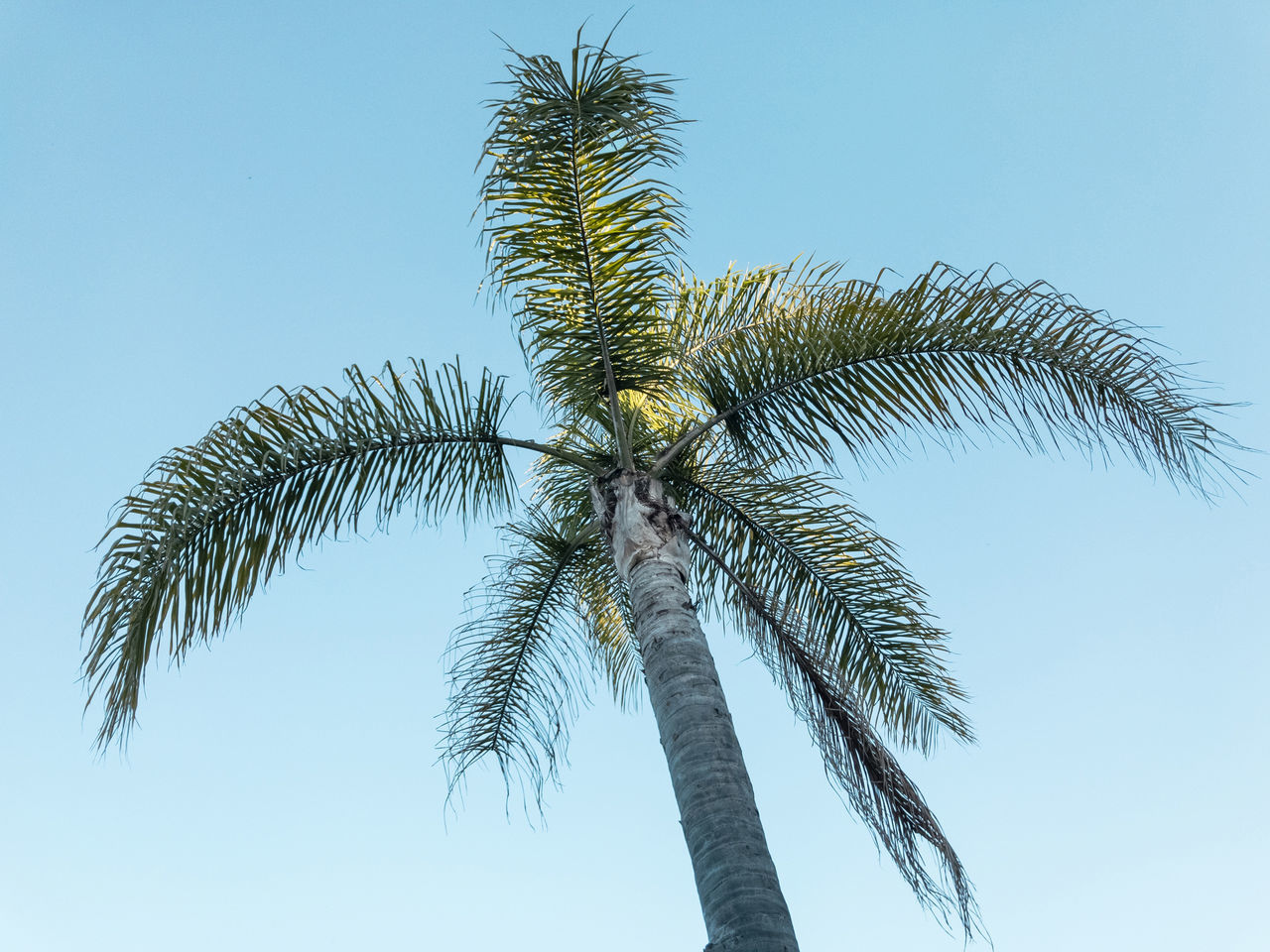 Palm tree. Santa Cruz, California, USA. Photo by Tom Bland. Blue Blue Sky California Clear Sky Day Exotic Growth Holiday In The Sun IPhone IPhoneography Looking Up Low Angle View Nature Outdoors Palm Palm Tree Palm Trees Santa Cruz Sky Tree Vacation