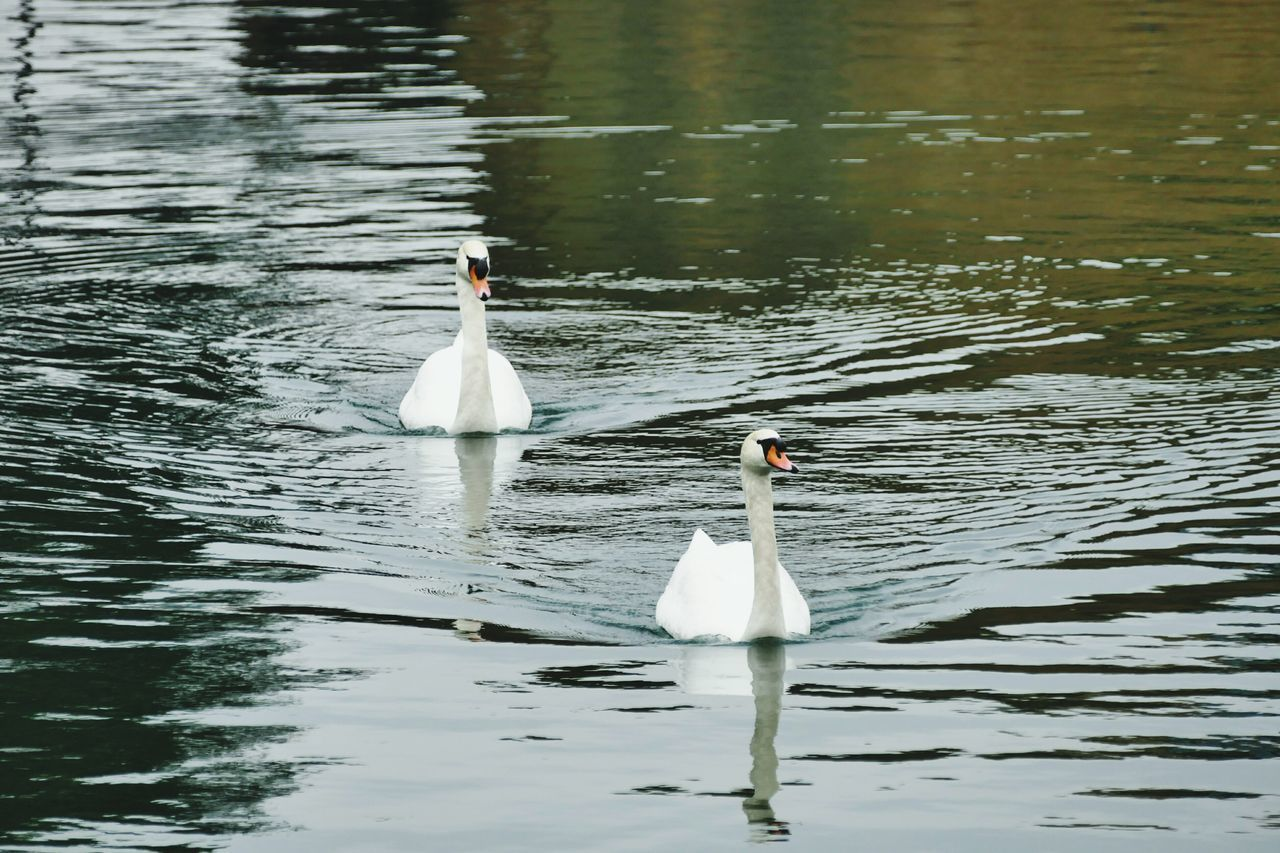 animal themes, animals in the wild, bird, white color, swimming, swan, lake, water, water bird, animal wildlife, two animals, nature, waterfront, no people, day, beauty in nature, outdoors