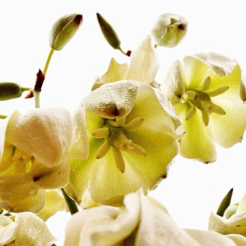 Yucca Flower Yucca Blooms Yucca Blossoms Yucca Desert Life Desert Beauty West Texas Texas West Texas Landscape Texas Landscape Midland, TX