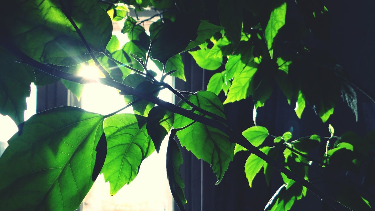Leaf Growth Green Color Nature Plant Beauty In Nature Sunlight Freshness Tree Branch No People Low Angle View Outdoors Day Close-up Frond Sky Indoors  EyeEm Russia Window Sunlight Freshness Beauty In Nature Tree