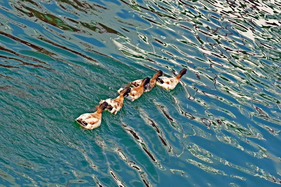 Ducks in a row Beauty In Nature Outdoor Photography Waterfowl Ducks In Water Ducks In A Row The Essence Of Summer The Great Outdoors - 2016 EyeEm Awards No People Nature_collection The Street Photographer - 2016 EyeEm Awards Water Reflections