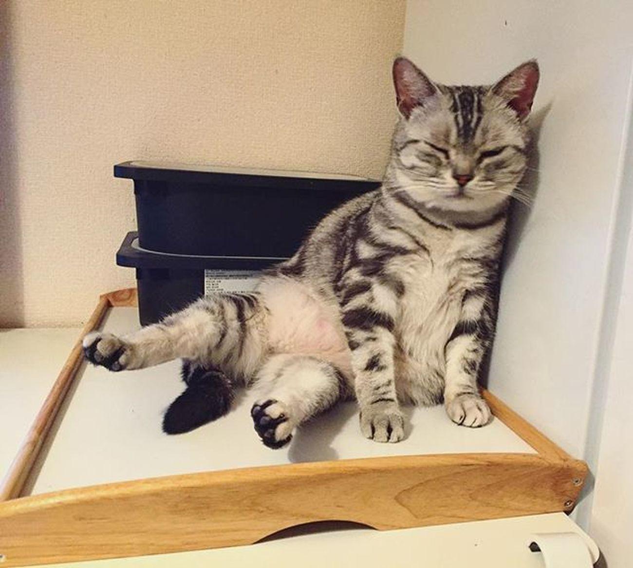 Cat Neko ねこ 猫 ねこ Cats アメリカンショートヘアー アメショ Americanshorthair ズズ ズズ子 Zuzu ズズっぺ シルバータビー 昨日のズっぺでおはようございます…😆😸💕どっこいしょって座ってしばらく後ろ足浮かすのがデフォなんだけど…やっぱお腹出てるのが要因なのだろうか…😅💦