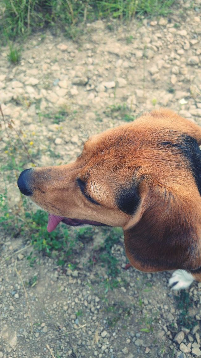 Beagle Beaglelovers Beagle Love Walk In The Countryside