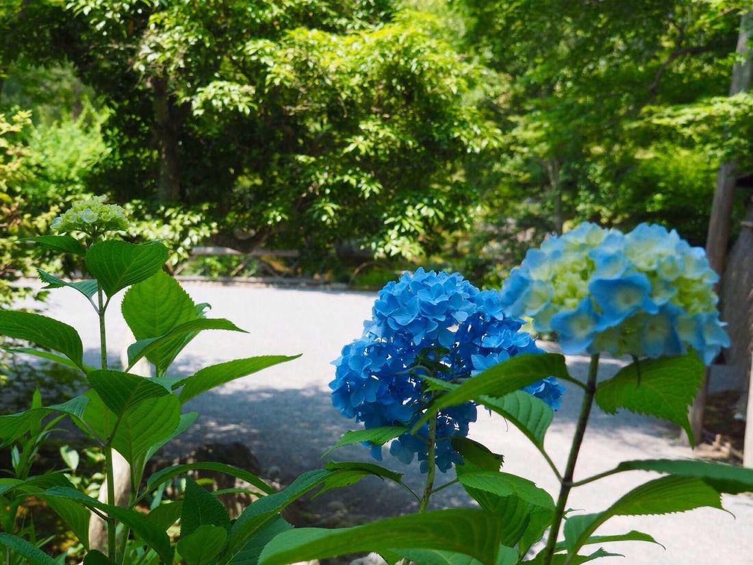 Kyoto Japan Arashiyama Hogonin Temple Garden Flower Hydrangea Blue Growth Beauty In Nature Plant Nature Outdoors Day Healing Silence Olympus PEN-F 京都 日本 嵐山 宝厳院 獅子吼の庭 紫陽花