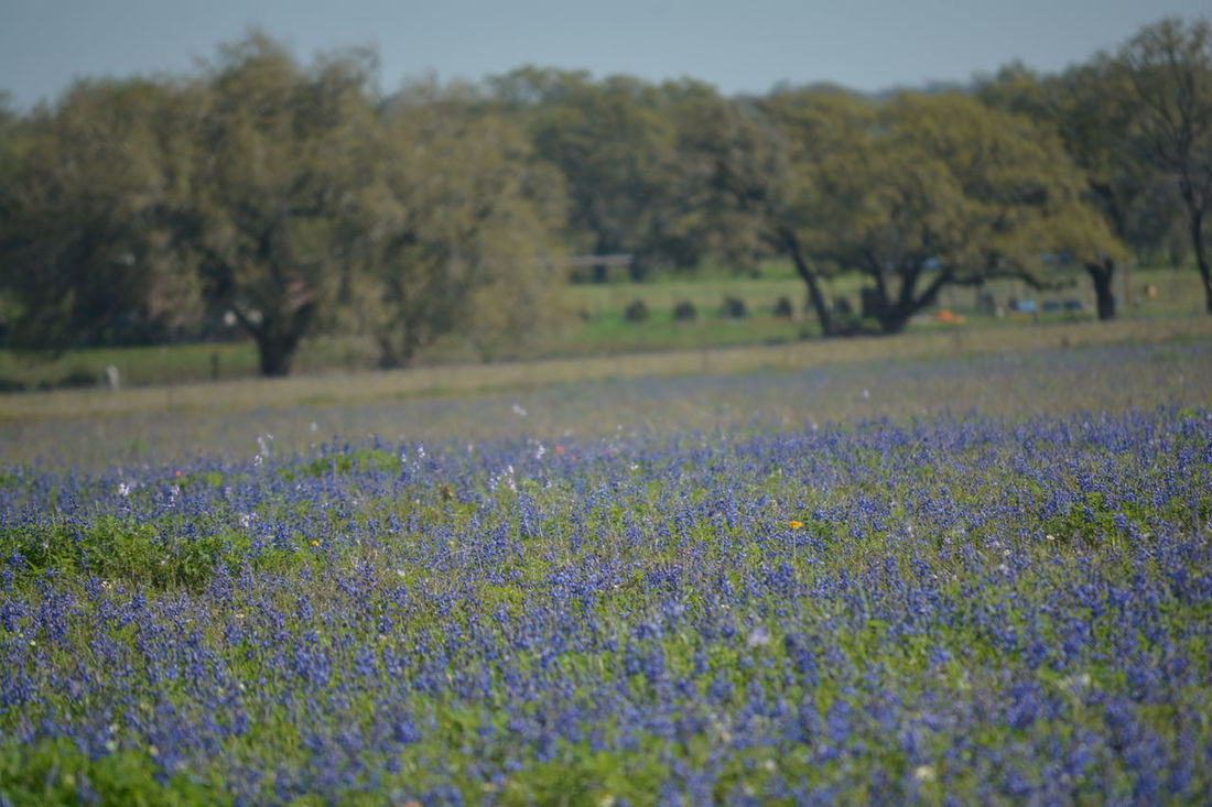 Abundance Beauty In Nature Blooming Day Field Flower Focus On Foreground Fragility Freshness Grass Growth In Bloom Landscape Nature No People Outdoors Petal Plant Purple Scenics Texas Bluebonnets Tranquil Scene Tranquility