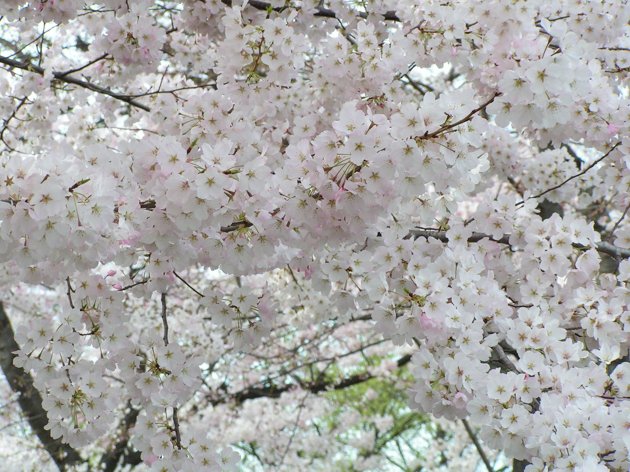 flower, blossom, cherry blossom, fragility, tree, springtime, nature, cherry tree, branch, growth, apple blossom, beauty in nature, freshness, apple tree, orchard, botany, white color, no people, backgrounds, twig, spring, petal, full frame, day, outdoors, blooming, close-up, flower head