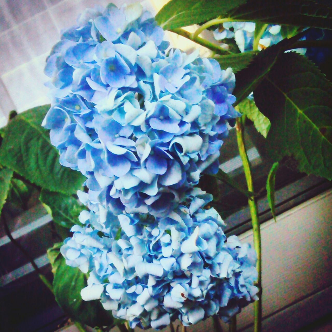 flower, fragility, petal, beauty in nature, growth, nature, freshness, plant, leaf, flower head, no people, close-up, hydrangea, day, indoors