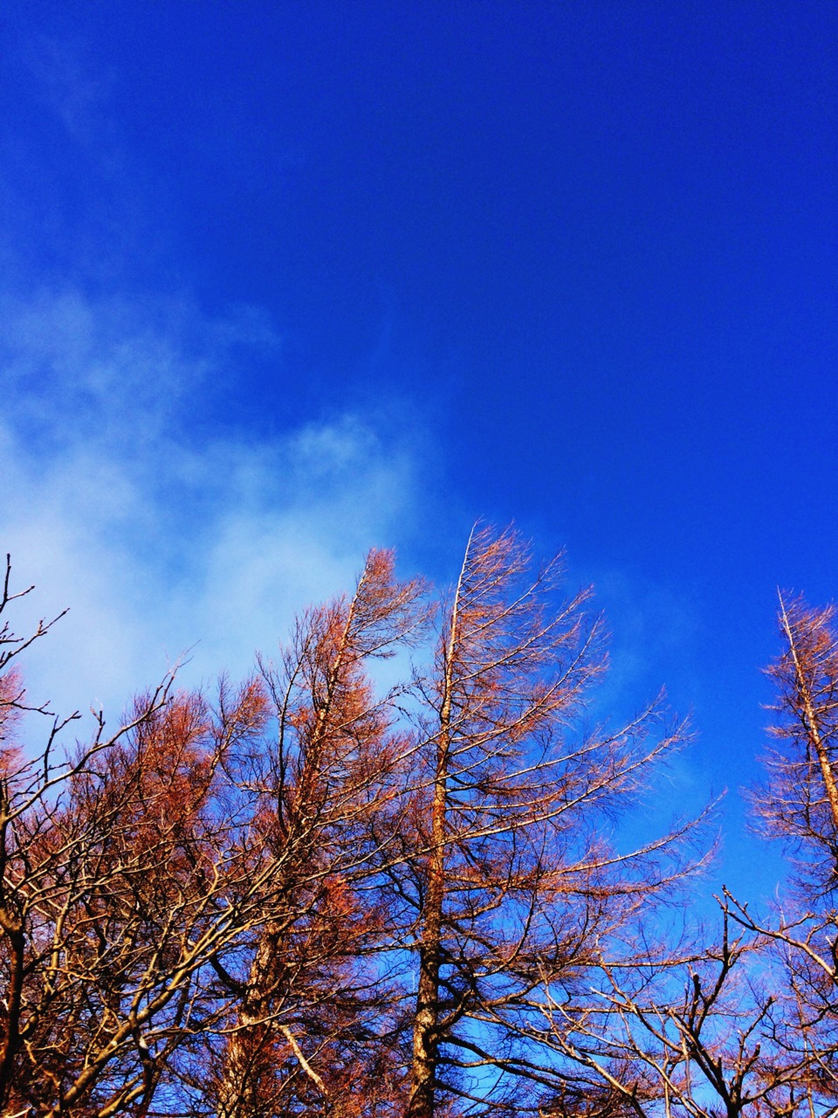 low angle view, tree, blue, branch, bare tree, sky, tranquility, beauty in nature, nature, scenics, growth, treetop, high section, clear sky, tranquil scene, outdoors, silhouette, day, no people, cloud - sky