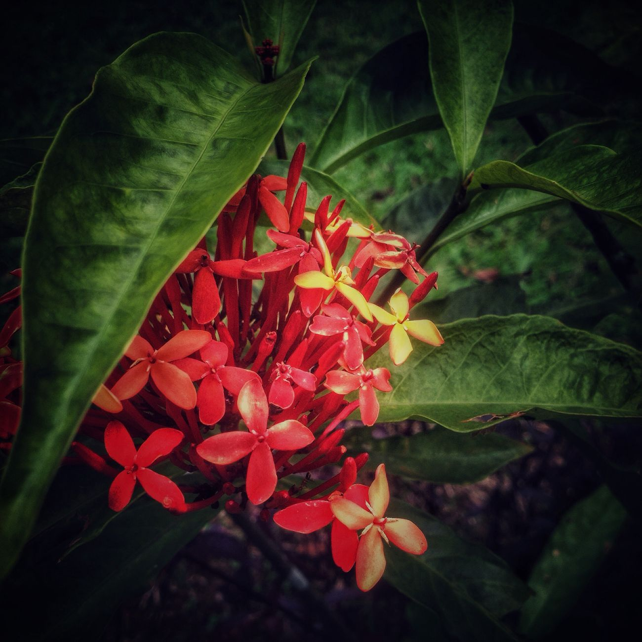 Flower Collection Leaf 🍂 Flower Red Nature Growth Beauty In Nature Petal Freshness Plant Ixora Leaf Flower Head Fragility Close-up Blooming No People Outdoors Day EyeEmFlower Eye4photography  Fromwhereistand EyeEm Nature Lover From My Point Of View EyeEmNewHere