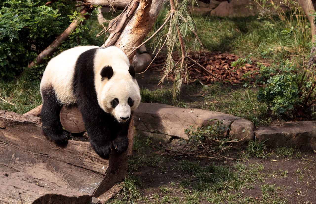 one animal, animals in the wild, bear, giant panda, panda - animal, animal wildlife, mammal, animal themes, outdoors, day, endangered species, full length, no people, nature, tree, close-up